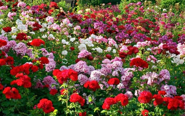 Menguak Misteri Keunikan Warna Dan Bau Bunga Mawar Oleh Ronny