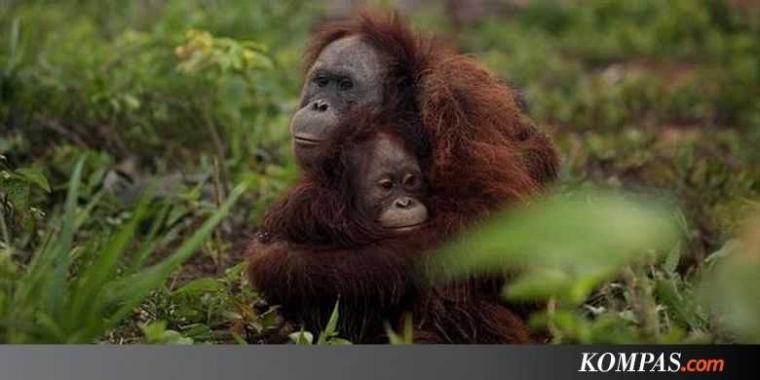 Ternyata Induk Orangutan Pengasuh yang Baik bagi Anaknya