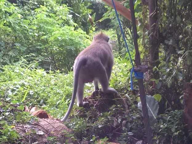 Bokong Seksi Sang Monyet