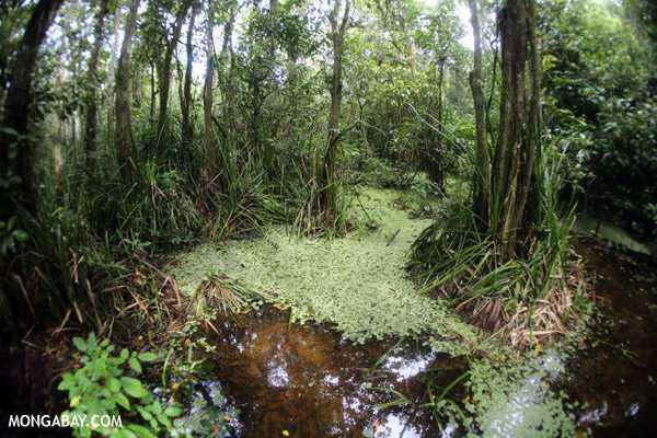 Ayo Pantau Keberlanjutan Lahan Ex-Konversi Hutan Gambut (langkah preventif meredam laju deforestasi, melestarikan biodiversitas dan menjaga cadangan karbon)