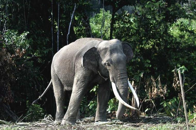 Hadiah 130 Juta Rupiah bagi yang Bisa Mengungkap Pembunuh Gajah Bunta