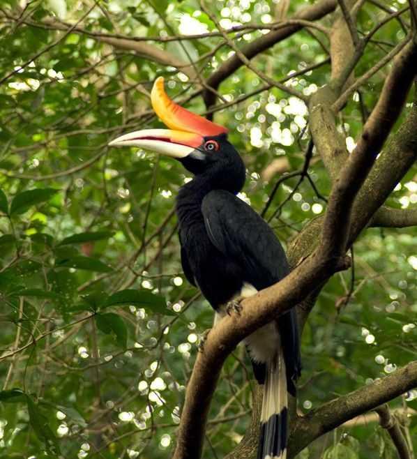 Burung Enggang, Si Petani Hutan yang Tak Kenal Pamrih