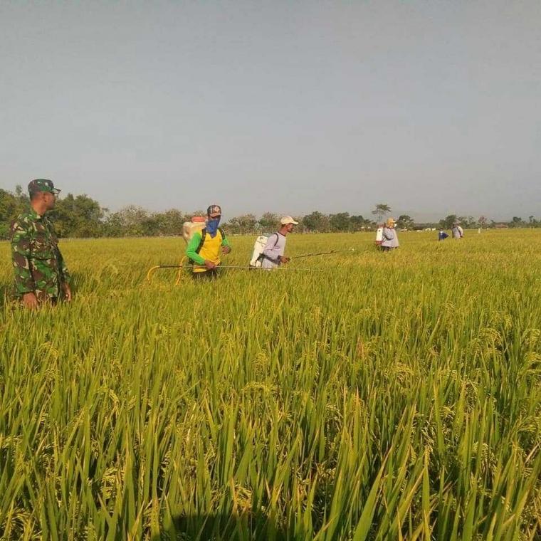 Petani Desa Lembah Ponorogo bersama Babinsa Melakukan Penyemprotan Obat OPT