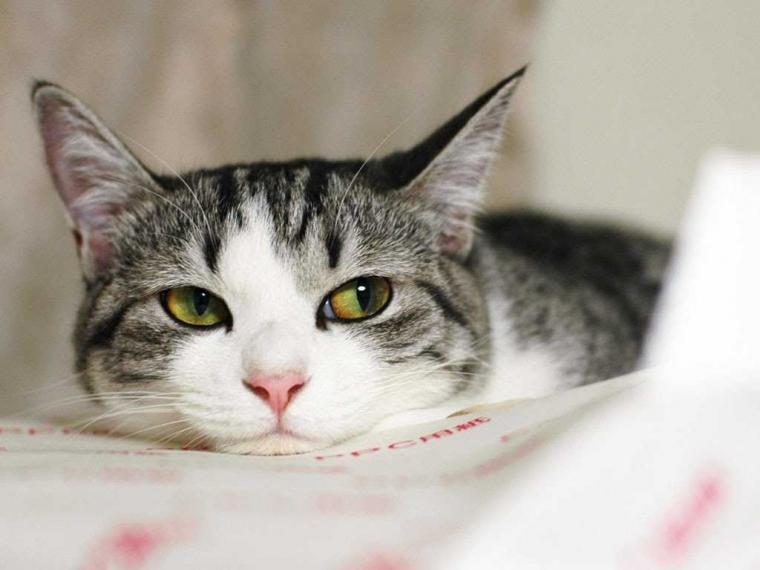 Penyakit di Balik Lucunya Kucing