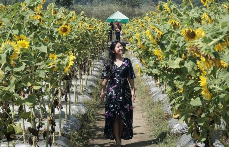 Menikmati Keindahan Hamparan Bunga Matahari di Taman Dewari