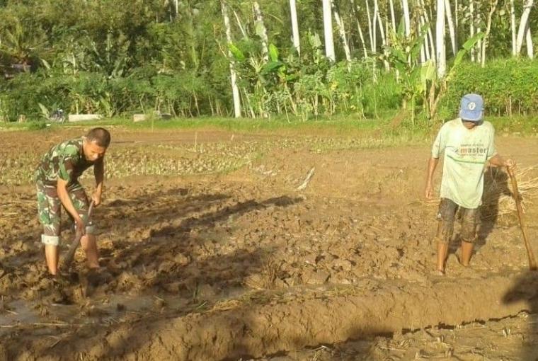 Dengan Alat Tradisional, Babinsa Pringapus Bantu Petani Olah Lahan Pertanian
