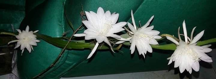 Asyiknya Bertanam Bunga Wijaya Kusuma