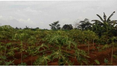 Tantangan Tim PPL Kecamatan Sukaraja dalam Pengelolaan Lahan Pertanian dan Mengembangkan Pepaya Sukaraja
