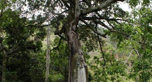 Hariara, Pohon Tertinggi Sejagad yang Ada di Tanah Batak