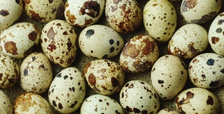 Cara Beternak Telur Puyuh Menurut Pengusaha Puyuh, Pak Selamet!