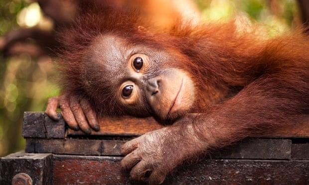 Hutan dan Orangutan Itu Penting Diselamatkan, tetapi Kesejahteraan Masyarakat yang Utama