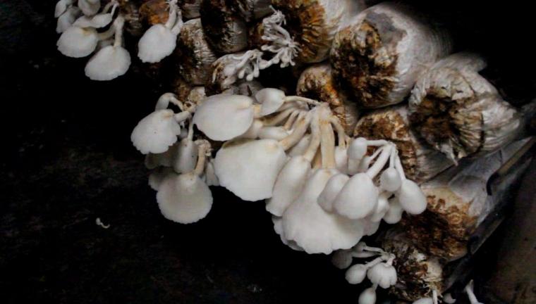 Mengintip Budidaya dan Hasil Olahan Jamur Tiram di SEAMEO Biotrop