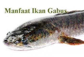 Unduh 43 Koleksi Gambar Ikan Gabus Banyak Terbaru