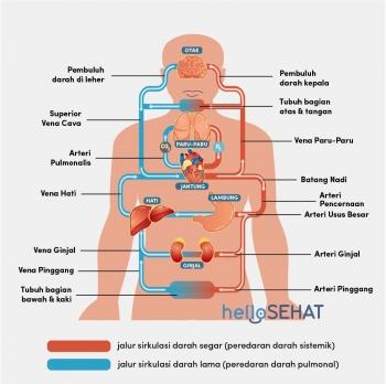Sistem Peredaran Darah Kompasianacom