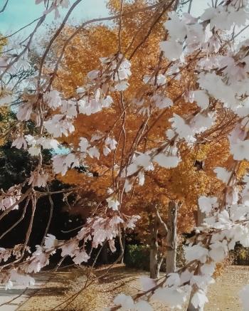 Download 97 Koleksi Gambar Bunga Sakura Tanpa Warna Paling Cantik