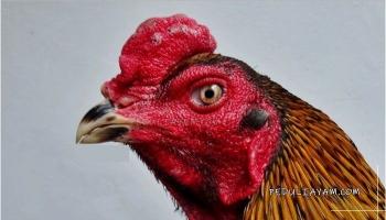 63+ Gambar Ayam Habis Tarung Paling Bagus