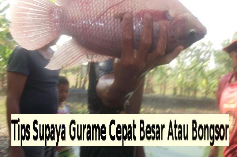 Tips Supaya Ikan Gurame Cepat Besar Atau Bongsor Halaman 1 Kompasiana Com