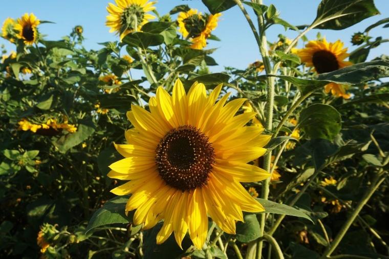 Puisi Bunga Matahari Yang Membelakangi Matahari Kompasiana Com