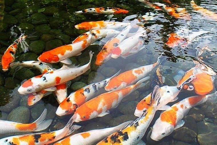 Cara Budidaya Ikan Mas Koi Dan Peluangnya Kompasiana Com