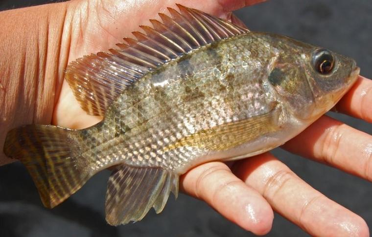 Budaya Ikan Nila Mudah Bagi Pemula Halaman All Kompasiana Com