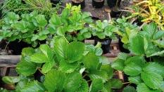 Cara Berkebun Strawberry dari Stolon agar Berbuah Manis dan Besar di Rumah