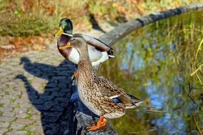 Cerpen: Rahasia Sepasang Bebek di Gang Sapi