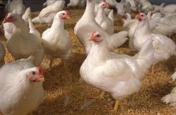 87 Gambar Ayam Potong 6 Terlihat Keren