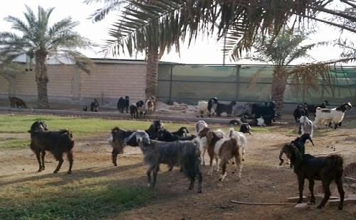 Usaha Ternak Domba di Riyadh