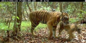 Ketika Harimau Menangis Kompasiana Com