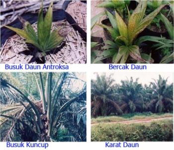 Hasil gambar untuk Beberapa Penyakit pada Daun Kelapa Sawit