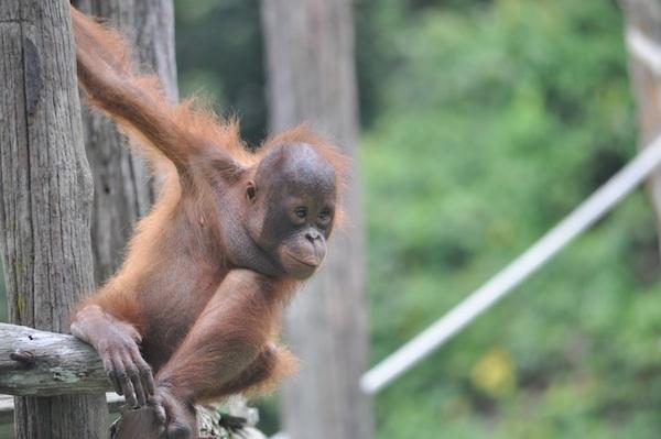 Infotemen: Badak, Orangutan, dan Panda