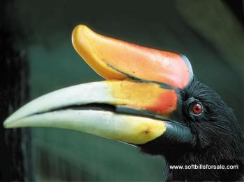 60 Foto Gambar Burung Enggang HD  Gratis