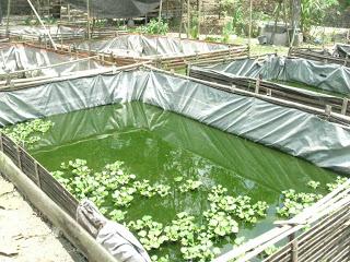 ##Peternakan dan Budidaya Ikan Lele (Cara Terbaru) ##
