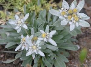Bunga Edelweiss  Simbol Cinta Abadi