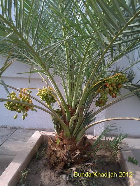 Beginilah Rupanya Pohon Korma (Dalam Foto)