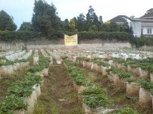 Bisnis Kebun Strawberry, menjamur di Lembang Bandung