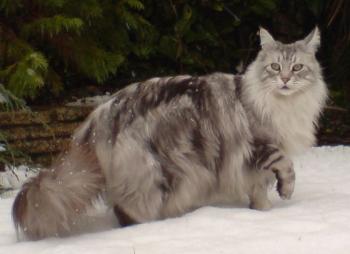 Unduh 92+  Gambar Kucing Ras Maine Coon Terbaik Gratis