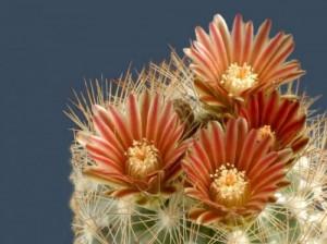 [kaktus] Tanaman Unik, Cantik dan Menarik