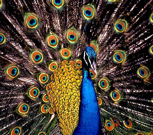 Fabel Buat Kakak: Burung Merak & Kupu-Kupu Oleh WePe