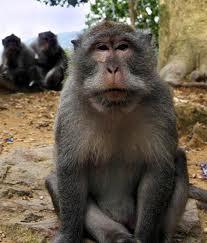 """Lewat """"Pohon Beringin,"""" """"Monyet Lampung"""" Incar Istana"""