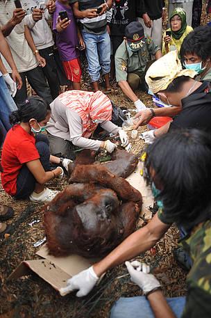 Peristiwa Kematian Orangutan di Wajok Menyisakan Cerita dan Pertanyaan