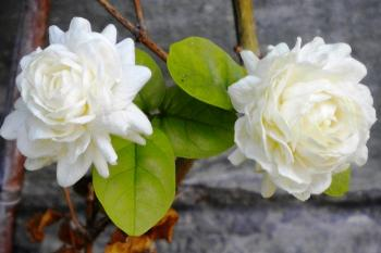 Unduh 400 Gambar Bunga Melati Jerman HD Terbaik